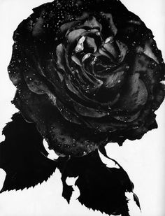 Rose - Nick Knight