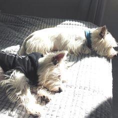 Eu e o Luke curtinho um sonzinho na cama da minha mãe!  #westie #westitude #pet #dog #cutedog #instadog #instwestie #westiegram #instapet #doglover #cachorro #ilovemydog #westiebr #westielove #westiemaniacos  #westielife #westiedog #terrier #westiebrasil #love #cute #westiesidestory #ilovemywestie #cao #westieterrier #petlovebr #4patas #cachorrosfofos