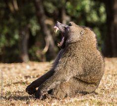 De Jong & Butynski - olive baboon mt Elgon (4)