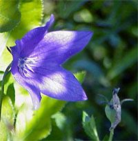 Balloonflower - Dependable perennial in USDA Hardiness Zones 3 through 8, balloon flower tolerates both extreme cold and scorching summer heat. It thrives in full sun but also adapts well to partial shade, especially in zones 7 and 8.