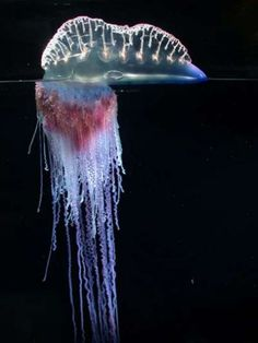 The Portuguese man-of-war! At the moment, this is my muse; not a jellyfish but a siphonophore. Not the single creature it first seems to be, but a colonial organism made up of many  individuals perfectly adapted to each other, unable to exist on their own.