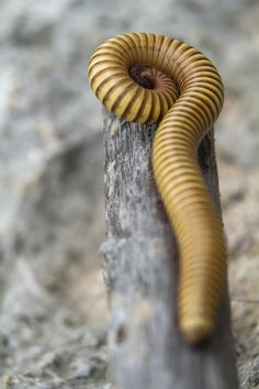 ˚Millipede Cool Insects, Bugs And Insects, Beautiful Bugs, Animals Beautiful, Velvet Worm, Beetle Bug, Earthworms, Patterns In Nature, Amphibians