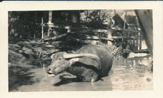1944 WWII a water buffalo in the water Hawaii photo Water Buffalo, Photo Search, Worlds Largest, Wwii, Hawaiian, Moose Art, Rice, Chinese, Photos