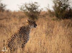 Cats and Their Camouflage Giraffe, Elephant, River Lodge, Cheetahs, Leopards, Black Spot, Hush Hush, Predator, Big Cats