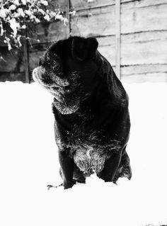 Gonk the Snow Pug