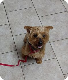 Pictures of Ava a Yorkie, Yorkshire Terrier Mix for adoption in Warrenton, MO who needs a loving home.