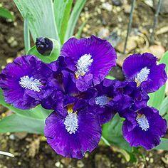 Breck's in Bareroot Trajectory Dwarf Bearded Iris at Lowe's. White beards on deep blue-purple falls command attention. Dark blue-purple standards and slightly darker blue-purple falls with white luminata patches.