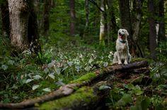 Dona ( Golden retriever ) Photo by Vedrana Tafra -- National Geographic Your Shot