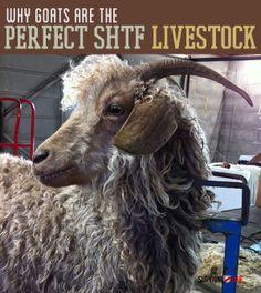 Raising Goats for Prep -| The Perfect SHTF Livestock  | Survival Prepping Ideas, Survival Gear, Skills & Emergency Preparedness Tips - Survival Life Blog: survivallife.com #survivallife