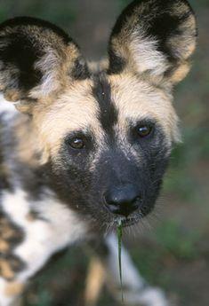 African Wild Dog | Denver Zoo