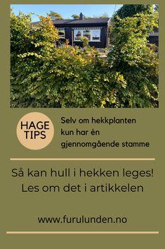 Selv om hekkplanten kun har én gjennomgående stamme, kan den leges! I denne artikkelen forteller jeg deg hvordan. #hekkplanter #hekk #agnbøk #carpinusbetulus #hagetips Gardening Tips