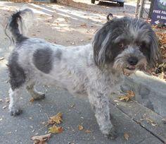 Shih Tzu dog for Adoption in Seattle, WA. ADN-732758 on PuppyFinder.com Gender: Male. Age: Adult