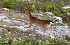 Imágenes del Parque Natural Sierras de Cazorla, Segura y Las Villas.: 203.- Hoy foto de fauna, con este gamo y su partic...
