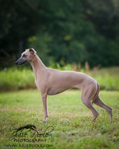 Blue fawn whippet imported from England by Julie Poole Photography