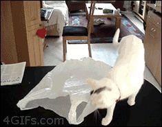 Cat vs. plastic bag (fanny-gillespie via Tumblr)