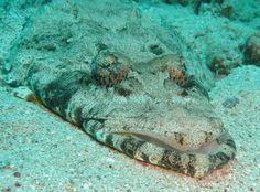 Crocdile fish
