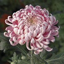 Chrysanthemum Pink Allouise