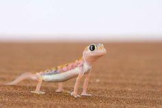 Webfooted gecko Palmatogecko rangei - Thorsten Milse/Getty Images