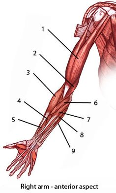 muscles of the upper limb, front or anterior view