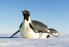 You may think the cold and inhospitable expanses of Antarctica, but this is where Emperor penguins rule. Emperor Penguin Facts for Kids tells you all about Group Of Penguins, Types Of Penguins, Penguin Breeds, Penguin Species, Penguin Day, Penguin Life, Emperor Penguin Facts, Emperor Penguins, Penguin