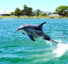 A Mandurah dolphin flying down the estuary! #dolphin #watching #cruise