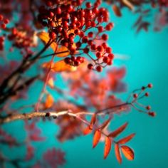 Red berries and teal sky color inspiration