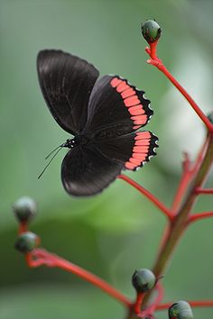 Red Rim sitting on red stems of Glorybower ~ Crimson-banded Black (Biblis hyperia) Butterfly by jungle mama~~
