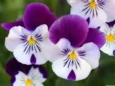 Pansie Flowers - Saferbrowser Yahoo Image Search Results