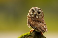 Little Baby Owl | Saw-Whet Owls Are Adorable Little Things