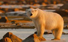 polar bear wallpaper hd download