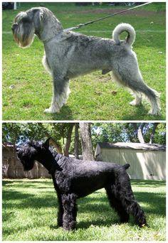 Working Dogs: Standard Schnauzer and Giant Schnauzer http://tipwriter.expertscolumn.com/article/working-dogs-standard-schnauzer-and-giant-schnauzer