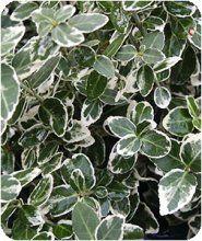 лиана берисклет форчуна вечнозеленая