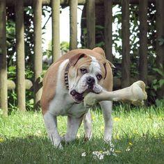 WEBSTA @ insomnia_maja - Connex Continosauria 😂 taka mala kosteczka na deser 😛 #connex_star #continentalbulldog #happydog #igbulldogs_germany #flatnosedogsociety #dogsofinstagram #bulldogsofinstagram #bullyofinstagram #excellent_dogs