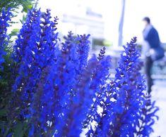 屋上庭園の青い花。