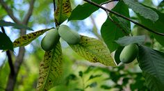 The pawpaw, the largest edible fruit native to the US, is unknown to most people. Yet it has earned a loyal following among those who are familiar with it. A new book peers into the pawpaw's storied past, how its popularity has grown today, and why it's not a staple in the produce aisle.