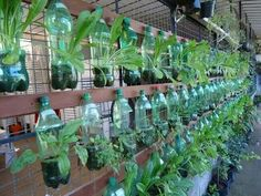 Soda bottle garden.