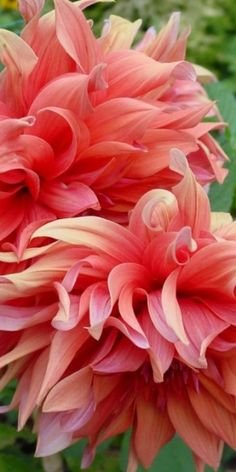 these dahlias ......the color is amazing pink, to peach,apricot shades..love them