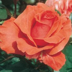 Fragrant Cloud Hybrid Tea Rose via Gurneys