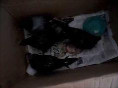 ANIMAL HELP URUGUAY   Actualización de las 5 palomas embetunadas con peg...