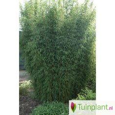 Niet woekerende bamboe (Fargesia jiuzhaigou)