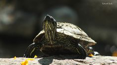 Western Painted Turtle by Saikanth Dacha on 500px