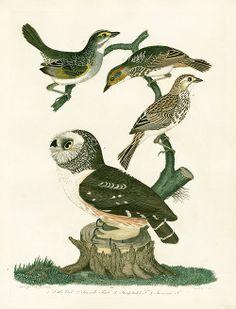 Little Owl, Seaside Finch, Savannah Finch (Alexander Wilson)