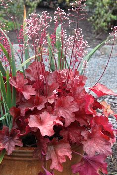 Heuchera (Coral Bells) to add color in shady areas Shade Garden Plants, Garden Shrubs, Landscaping Plants, Sun Plants, House Plants, Coral Bells Plant, Coral Bells Heuchera, Garden Labels, Decoration Plante