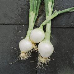 Cebolletas. Huerta online de Verduras y Frutas a Domicilio. Loratu. www.loratu.com 696283183 kaixo@loratu.com