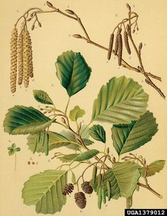 Alnus glutinosa Klibbal European black alder, Alnus glutinosa (Fagales: Betulaceae) - 1379012