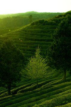 Boseong Green Tea Plantation, Jeollanam-do, South Korea (Source)