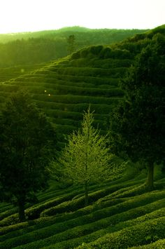 Boseong Green Tea Plantation, Jeollanam-do, South Korea. It's just so marvelously green! I want to go there right now!