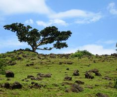 Fig tree - Ethiopia