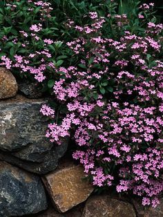 Weed-smothering groundcover: Soapwort - Soapworts are underappreciated plants. Many of them make fine groundcovers. 'Max Frei' is a low-growing, mat-forming selection that is highlighted with starry pink flowers in spring. It's an excellent choice for gar Ground Cover Plants, Full Sun Ground Cover, Landscape Ground Cover, Low Growing Ground Cover, Decoration Plante, My Secret Garden, Lawn And Garden, Balcony Garden, Dream Garden