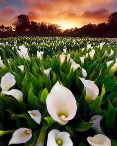 Field of Dreams (Calla Lilly farm in central California) // photography by Matt Walker Calla Lily Flowers, Calla Lillies, Wild Flowers, Field Of Dreams, Flower Names, Felder, Types Of Flowers, Nature Photos, Trees To Plant